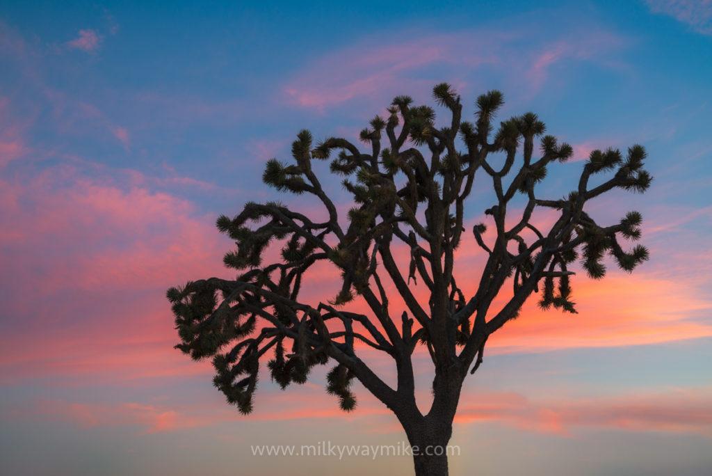 Joshua Tree Silhouette Sunset